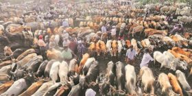 Cattle Slaughter back Government rolls back the decision